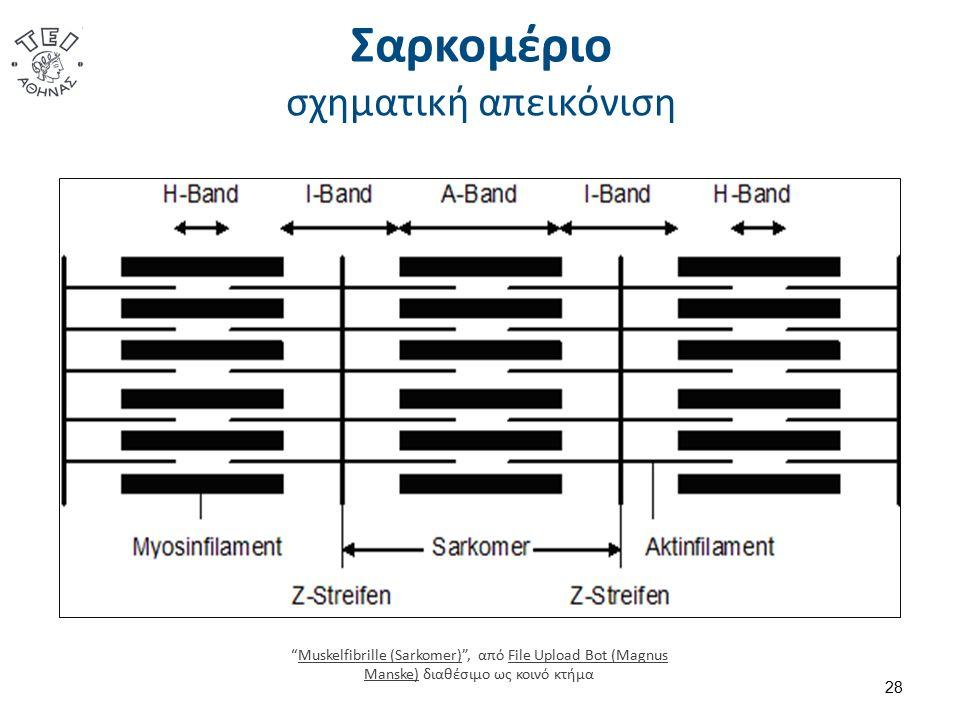 """Σαρκομέριο σχηματική απεικόνιση 28 """"Muskelfibrille (Sarkomer)"""", από File Upload Bot (Magnus Manske) διαθέσιμο ως κοινό κτήμαMuskelfibrille (Sarkomer)F"""