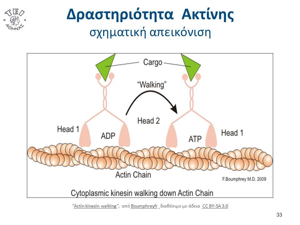 """Δραστηριότητα Ακτίνης σχηματική απεικόνιση 33 """"Actin kinesin walking"""", από Boumphreyfr διαθέσιμο με άδεια CC BY-SA 3.0Actin kinesin walkingBoumphreyfr"""