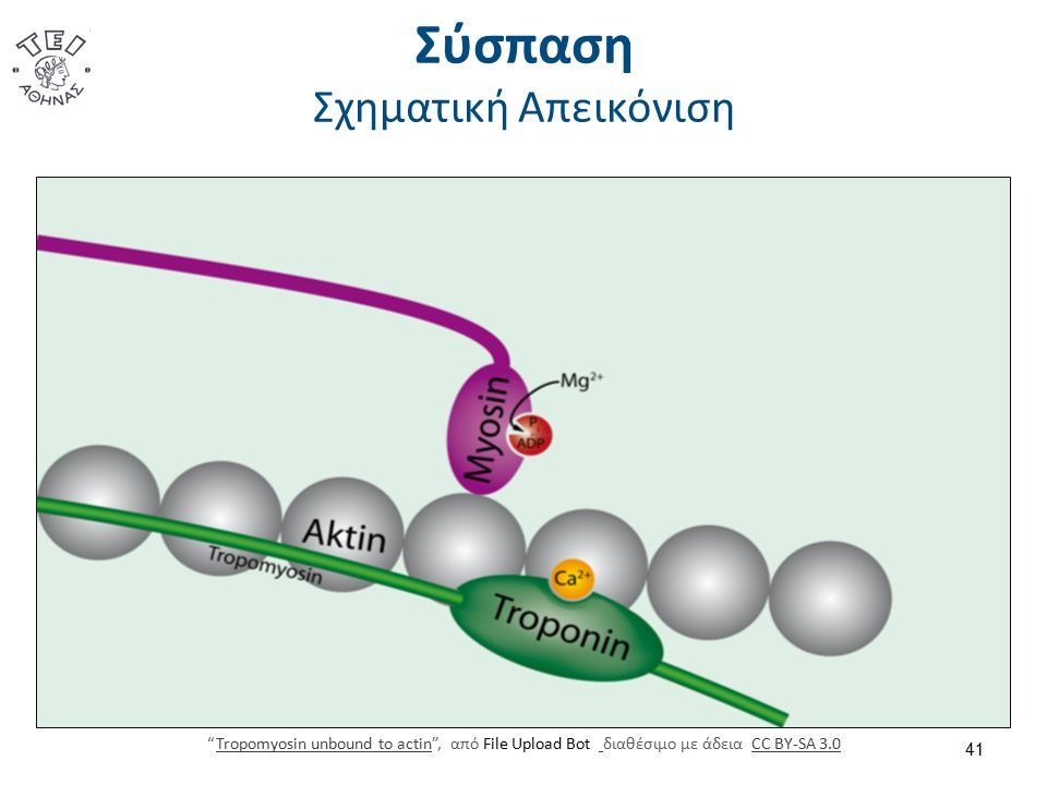 """Σύσπαση Σχηματική Απεικόνιση 41 """"Tropomyosin unbound to actin"""", από File Upload Bot διαθέσιμο με άδεια CC BY-SA 3.0Tropomyosin unbound to actin CC BY-"""