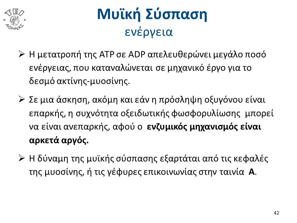 Μυϊκή Σύσπαση ενέργεια  Η μετατροπή της ATP σε ADP απελευθερώνει μεγάλο ποσό ενέργειας, που καταναλώνεται σε μηχανικό έργο για το δεσμό ακτίνης-μυοσίνης.