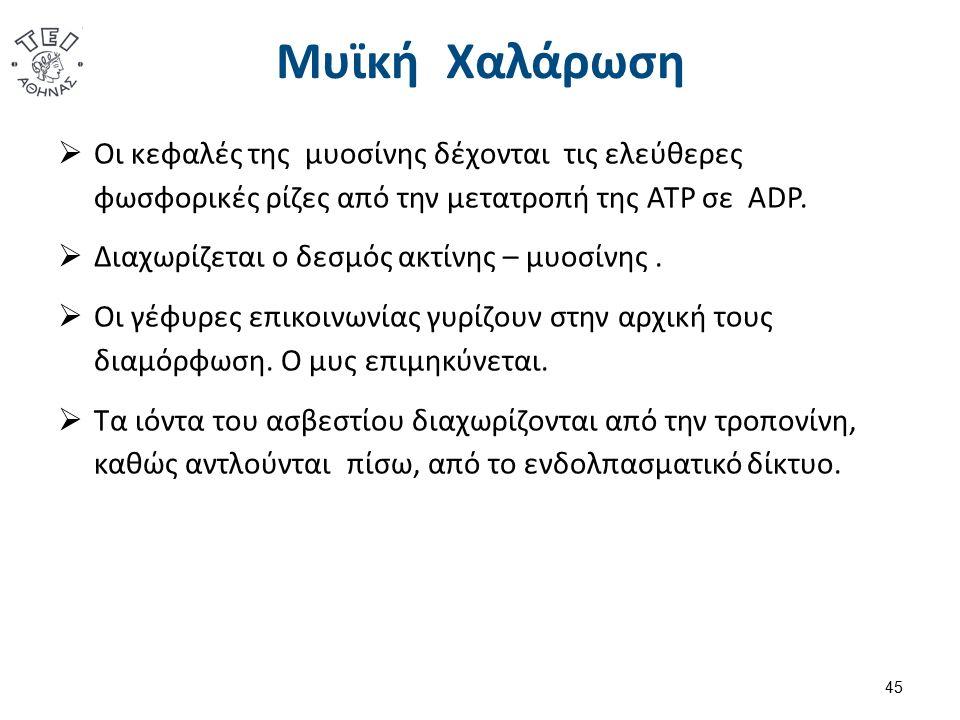Μυϊκή Χαλάρωση  Οι κεφαλές της μυοσίνης δέχονται τις ελεύθερες φωσφορικές ρίζες από την μετατροπή της ATP σε ADP.  Διαχωρίζεται ο δεσμός ακτίνης – μ