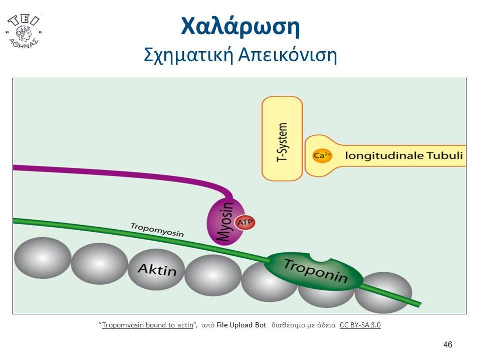 """Χαλάρωση Σχηματική Απεικόνιση 46 """"Tropomyosin bound to actin"""", από File Upload Bot διαθέσιμο με άδεια CC BY-SA 3.0Tropomyosin bound to actinCC BY-SA 3"""