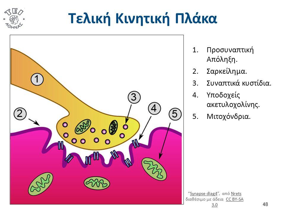 """Τελική Κινητική Πλάκα 48 1.Προσυναπτική Απόληξη. 2.Σαρκείλημα. 3.Συναπτικά κυστίδια. 4.Υποδοχείς ακετυλοχολίνης. 5.Μιτοχόνδρια. """"Synapse diag4"""", από N"""