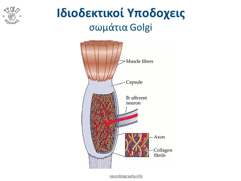 Ιδιοδεκτικοί Υποδοχεις σωμάτια Golgi neurobiography.info
