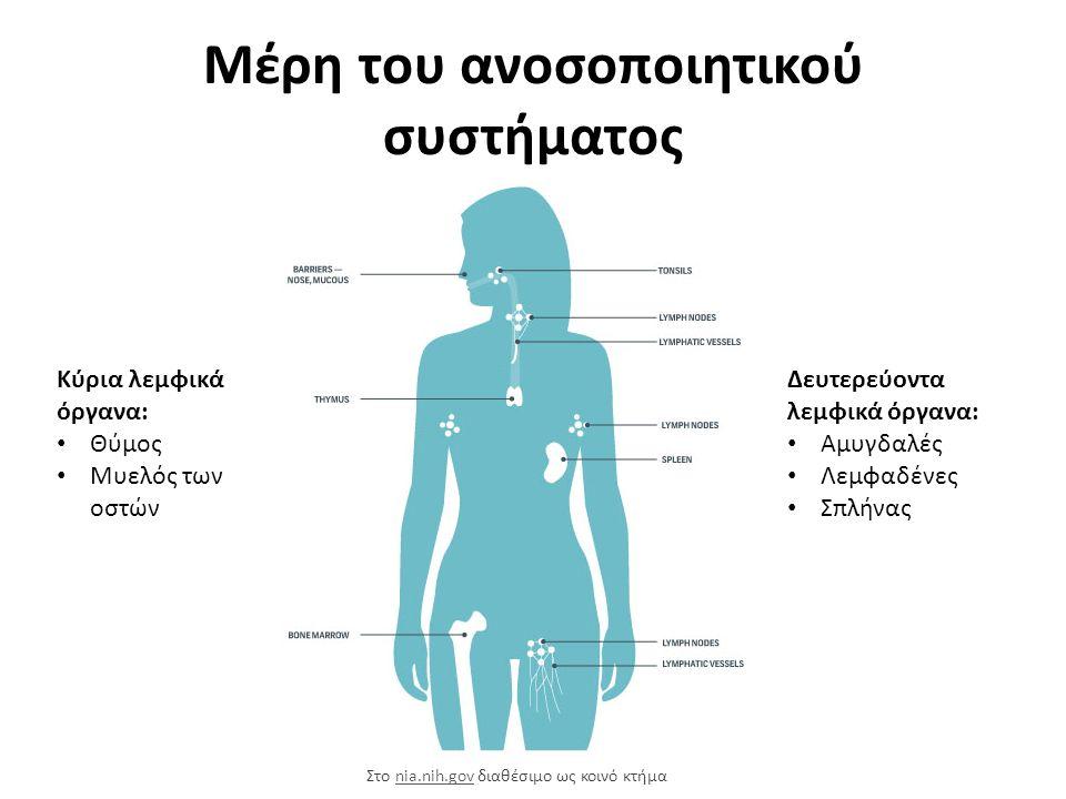 Μέρη του ανοσοποιητικού συστήματος Κύρια λεμφικά όργανα: Θύμος Μυελός των οστών Δευτερεύοντα λεμφικά όργανα: Αμυγδαλές Λεμφαδένες Σπλήνας Στο nia.nih.gov διαθέσιμο ως κοινό κτήμαnia.nih.gov