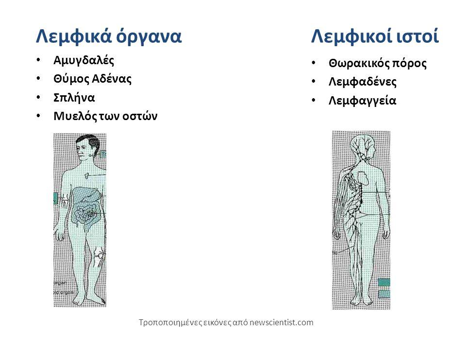 Αμυγδαλές Θύμος Αδένας Σπλήνα Μυελός των οστών Τροποποιημένες εικόνες από newscientist.com Λεμφικά όργαναΛεμφικοί ιστοί Θωρακικός πόρος Λεμφαδένες Λεμφαγγεία