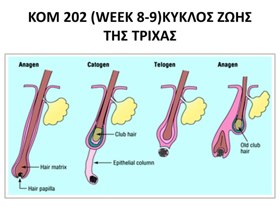 ΚΟΜ202(WEEK 8-9) (ΚΥΚΛΟΣ ΖΩΗΣ ΤΡΙΧΑΣ · Καταγενές στάδιο (φάση παλινδρόμησης)Ο θύλακας προετοιμάζεται για την απόπτωση της τρίχας και την αντικατάσταση της από νέα.