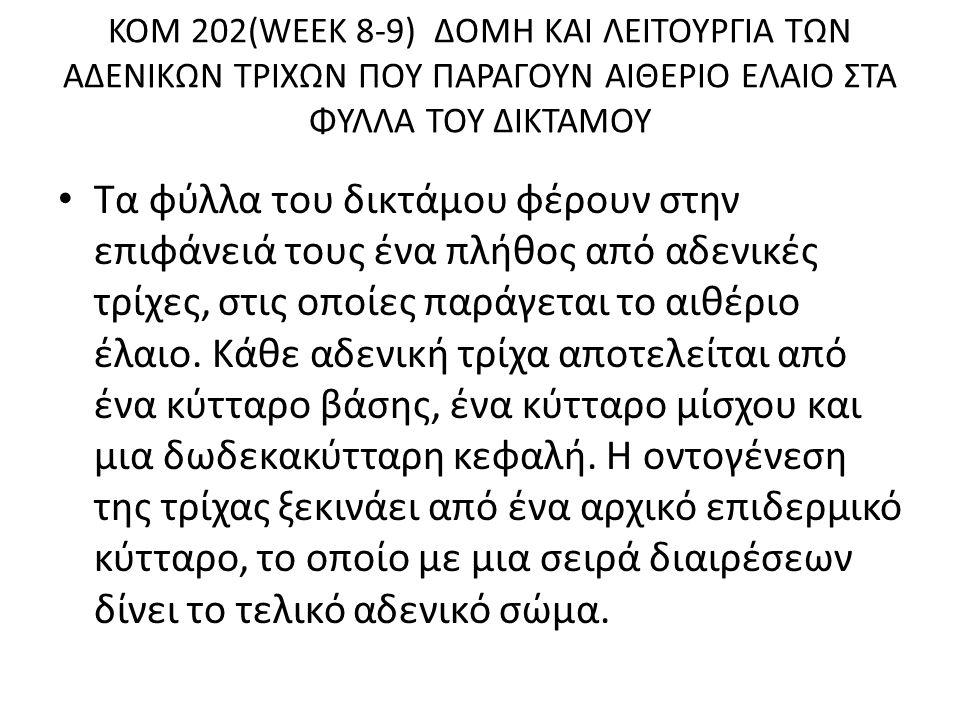 KOM 202(WEEK 8-9) ∆ΟΜΗ ΚΑΙ ΛΕΙΤΟΥΡΓΙΑ ΤΩΝ Α∆ΕΝΙΚΩΝ ΤΡΙΧΩΝ ΠΟΥ ΠΑΡΑΓΟΥΝ ΑΙΘΕΡΙΟ ΕΛΑΙΟ ΣΤΑ ΦΥΛΛΑ ΤΟΥ ∆ΙΚΤΑΜΟΥ Τα φύλλα του δικτάµου φέρουν στην επιφάνειά τους ένα πλήθος από αδενικές τρίχες, στις οποίες παράγεται το αιθέριο έλαιο.