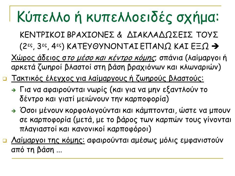 ΚΕΝΤΡΙΚΟΙ ΒΡΑΧΙΟΝΕΣ & ΔΙΑΚΛΑΔΩΣΕΙΣ ΤΟΥΣ (2 ες, 3 ες, 4 ες ) ΚΑΤΕΥΘΥΝΟΝΤΑΙ ΕΠΑΝΩ ΚΑΙ ΕΞΩ  Χώρος άδειος στο μέσο και κέντρο κόμης; σπάνια (λαίμαργοι ή αρκετά ζωηροί βλαστοί στη βάση βραχιόνων και κλωναριών)  Τακτικός έλεγχος για λαίμαργους ή ζωηρούς βλαστούς:  Για να αφαιρούνται νωρίς (και για να μην εξαντλούν το δέντρο και γιατί μειώνουν την καρποφορία)  Όσοι μένουν κορφολογούνται και κάμπτονται, ώστε να μπουν σε καρποφορία (μετά, με το βάρος των καρπών τους γίνονται πλαγιαστοί και κανονικοί καρποφόροι)  Λαίμαργοι της κόμης: αφαιρούνται αμέσως μόλις εμφανιστούν από τη βάση...