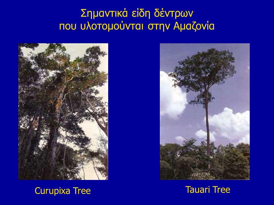 Σημαντικά είδη δέντρων που υλοτομούνται στην Αμαζονία Curupixa Tree Tauari Tree