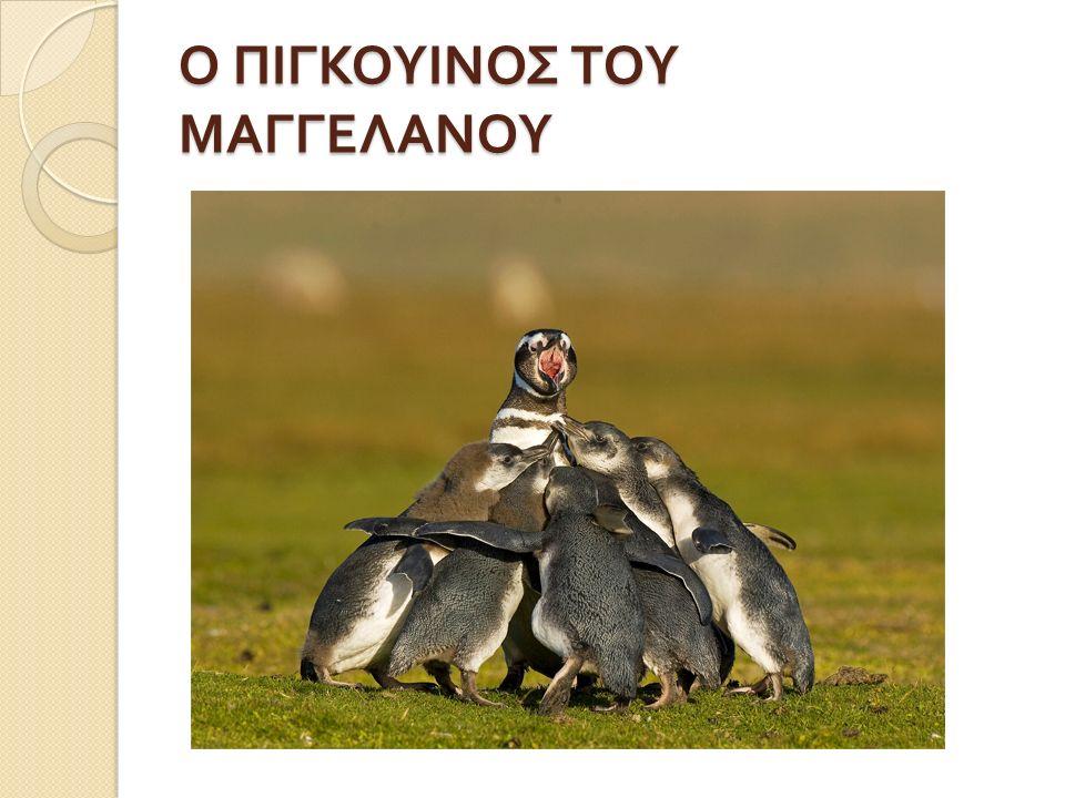 Ο ΠΙΓΚΟΥΙΝΟΣ ΤΟΥ ΜΑΓΓΕΛΑΝΟΥ
