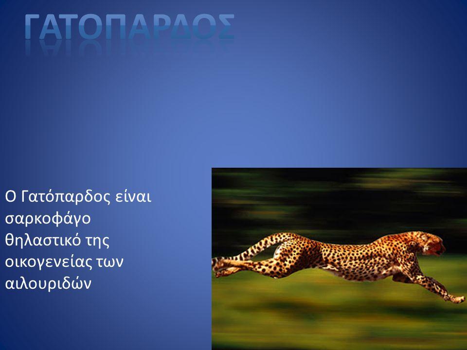 Ο Γατόπαρδος είναι σαρκοφάγο θηλαστικό της οικογενείας των αιλουριδών