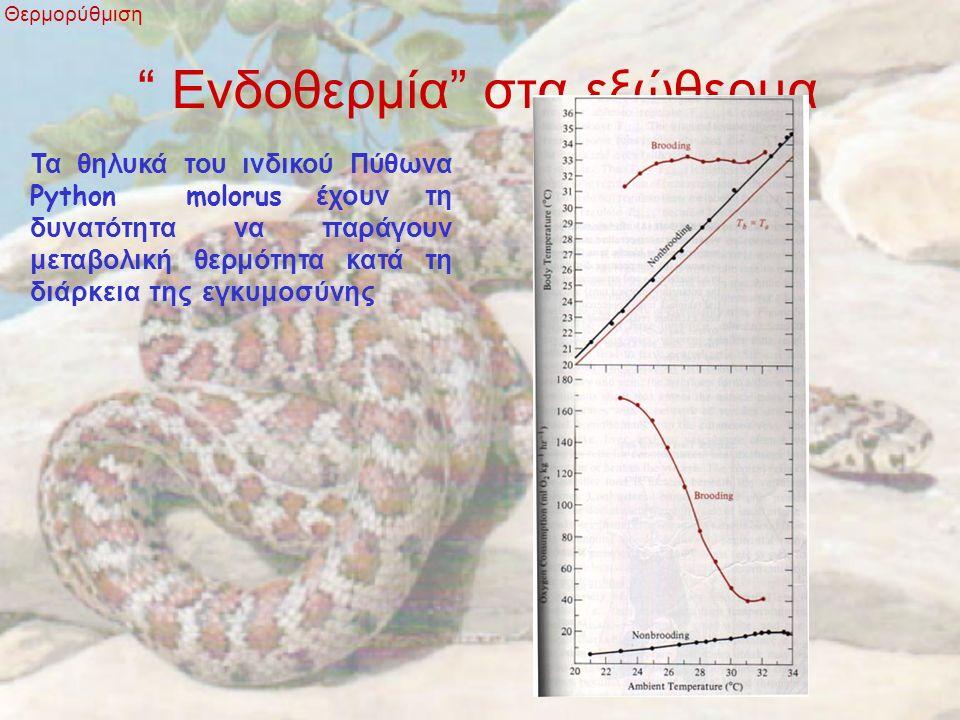 """"""" Ενδοθερμία"""" στα εξώθερμα Θερμορύθμιση Τα θηλυκά του ινδικού Πύθωνα Python molorus έχουν τη δυνατότητα να παράγουν μεταβολική θερμότητα κατά τη διάρκ"""