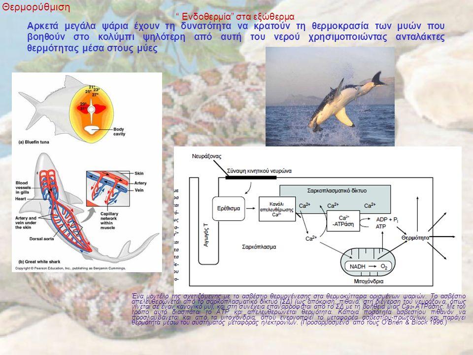 Ενδοθερμία στα εξώθερμα Θερμορύθμιση Αρκετά μεγάλα ψάρια έχουν τη δυνατότητα να κρατούν τη θερμοκρασία των μυών που βοηθούν στο κολύμπι ψηλότερη από αυτή του νερού χρησιμοποιώντας ανταλάκτες θερμότητας μέσα στους μύες Ένα μοντέλο της σχετιζόμενης με το ασβέστιο θερμογένεσης στα θερμοκύτταρα ορισμένων ψαριών.
