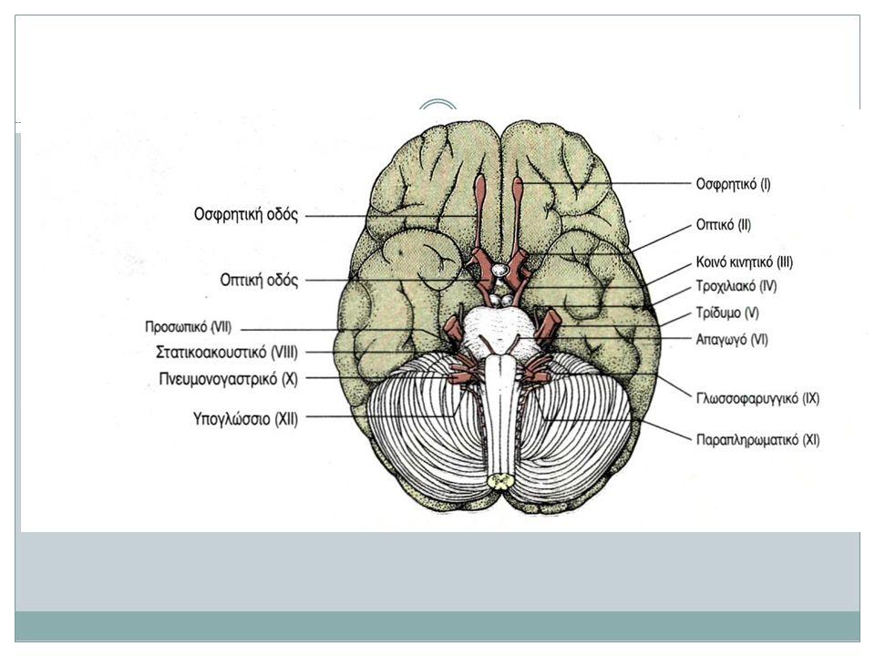 Figure 15.3 οφθαλμός σιελογόνοι αδένες καρδιά πνεύμονες στόμαχος πάγκρεας Ήπαρ, χοληδόχος κύστη Ουροδόχος κύστη Γεννητικά όργανα