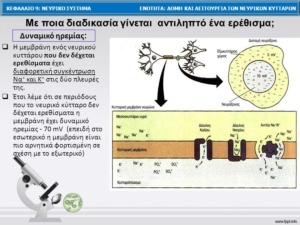  Έτσι λέμε ότι σε περιόδους που το νευρικό κύτταρο δεν δέχεται ερεθίσματα η μεμβράνη έχει δυναμικό ηρεμίας - 70 mV (επειδή στο εσωτερικό η μεμβράνη είναι πιο αρνητικά φορτισμένη σε σχέση με το εξωτερικό)  Η μεμβράνη ενός νευρικού κυττάρου που δεν δέχεται ερεθίσματα έχει διαφορετική συγκέντρωση Να + και Κ + στις δύο πλευρές της.