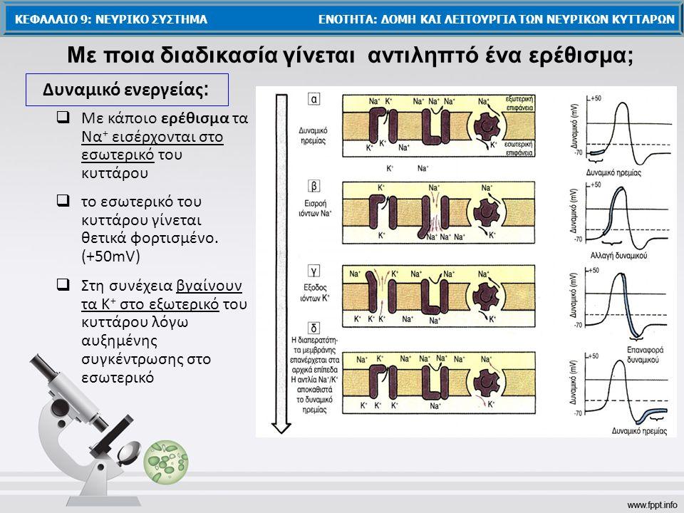  Με κάποιο ερέθισμα τα Να + εισέρχονται στο εσωτερικό του κυττάρου Με ποια διαδικασία γίνεται αντιληπτό ένα ερέθισμα;  το εσωτερικό του κυττάρου γίν