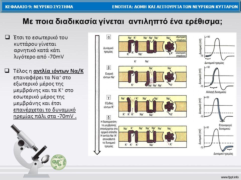  Έτσι το εσωτερικό του κυττάρου γίνεται αρνητικό κατά κάτι λιγότερο από -70mV  Τέλος η αντλία ιόντων Να/Κ επαναφέρει τα Να + στο εξωτερικό μέρος της μεμβράνης και τα Κ + στο εσωτερικό μέρος της μεμβράνης και έτσι επανέρχεται το δυναμικό ηρεμίας πάλι στα -70mV.