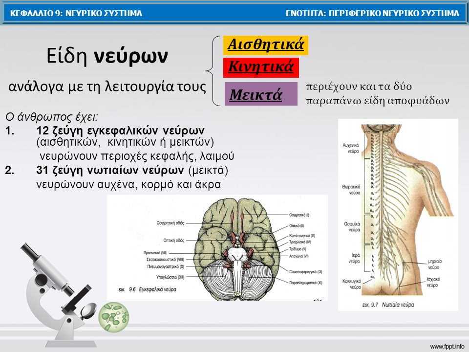 Ο άνθρωπος έχει: 1.12 ζεύγη εγκεφαλικών νεύρων (αισθητικών, κινητικών ή μεικτών) νευρώνουν περιοχές κεφαλής, λαιμού 2.31 ζεύγη νωτιαίων νεύρων (μεικτά) νευρώνουν αυχένα, κορμό και άκρα Είδη νεύρων ανάλογα με τη λειτουργία τους Αισθητικά Κινητικά Μεικτά περιέχουν και τα δύο παραπάνω είδη αποφυάδων ΚΕΦΑΛΑΙΟ 9: ΝΕΥΡΙΚΟ ΣΥΣΤΗΜΑ ΕΝΟΤΗΤΑ: ΠΕΡΙΦΕΡΙΚΟ ΝΕΥΡΙΚΟ ΣΥΣΤΗΜΑ