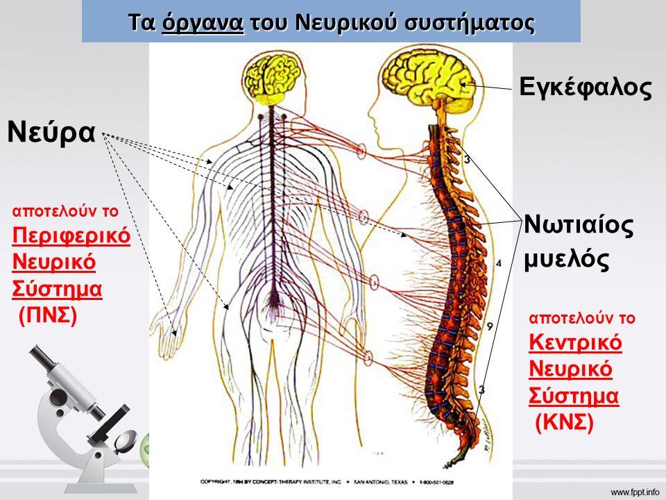 Τα όργανα του Νευρικού συστήματος Εγκέφαλος Νωτιαίος μυελός Νεύρα αποτελούν το Περιφερικό Νευρικό Σύστημα (ΠΝΣ) αποτελούν το Κεντρικό Νευρικό Σύστημα (ΚΝΣ)