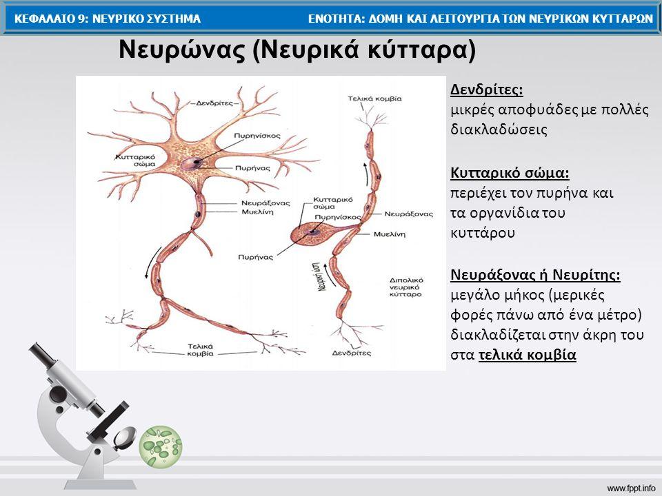 Νευρώνας (Νευρικά κύτταρα) Κυτταρικό σώμα: περιέχει τον πυρήνα και τα οργανίδια του κυττάρου Δενδρίτες: μικρές αποφυάδες με πολλές διακλαδώσεις Νευράξονας ή Νευρίτης: μεγάλο μήκος (μερικές φορές πάνω από ένα μέτρο) διακλαδίζεται στην άκρη του στα τελικά κομβία ΚΕΦΑΛΑΙΟ 9: ΝΕΥΡΙΚΟ ΣΥΣΤΗΜΑ ΕΝΟΤΗΤΑ: ΔΟΜΗ ΚΑΙ ΛΕΙΤΟΥΡΓΙΑ ΤΩΝ ΝΕΥΡΙΚΩΝ ΚΥΤΤΑΡΩΝ