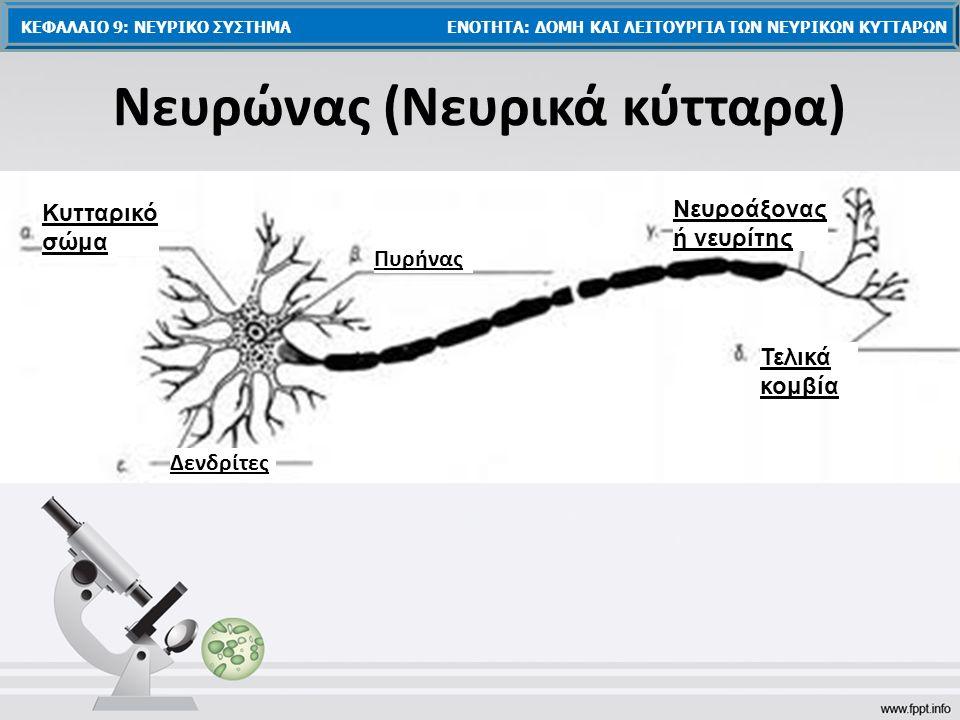 Δενδρίτες Κυτταρικό σώμα Πυρήνας Νευροάξονας ή νευρίτης Τελικά κομβία Νευρώνας (Νευρικά κύτταρα) ΚΕΦΑΛΑΙΟ 9: ΝΕΥΡΙΚΟ ΣΥΣΤΗΜΑ ΕΝΟΤΗΤΑ: ΔΟΜΗ ΚΑΙ ΛΕΙΤΟΥΡΓΙΑ ΤΩΝ ΝΕΥΡΙΚΩΝ ΚΥΤΤΑΡΩΝ
