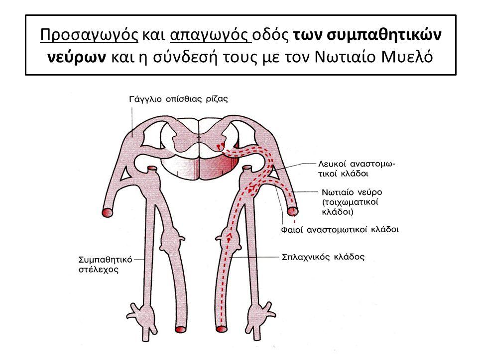 Προσαγωγός και απαγωγός οδός των συμπαθητικών νεύρων και η σύνδεσή τους με τον Νωτιαίο Μυελό