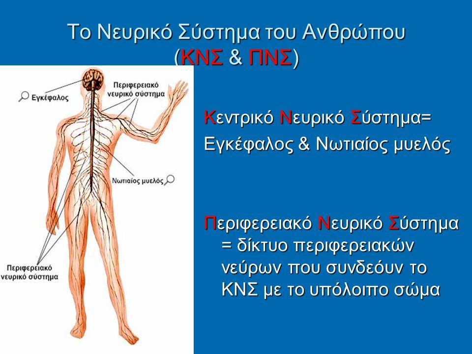 Το Νευρικό Σύστημα του Ανθρώπου (ΚΝΣ & ΠΝΣ) Κεντρικό Νευρικό Σύστημα= Εγκέφαλος & Νωτιαίος μυελός Περιφερειακό Νευρικό Σύστημα = δίκτυο περιφερειακών νεύρων που συνδεόυν το ΚΝΣ με το υπόλοιπο σώμα