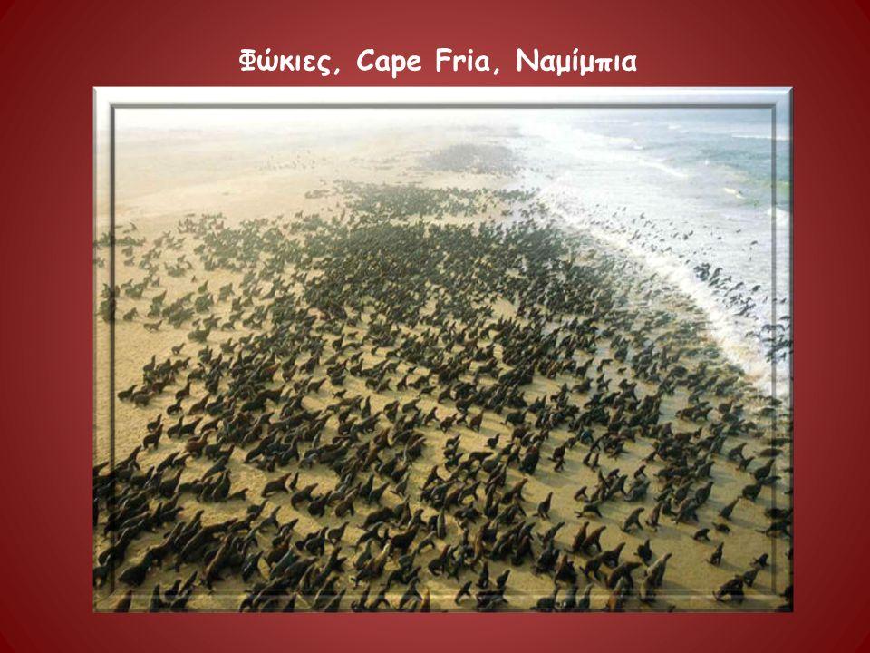 Φώκιες, Cape Fria, Ναμίμπια