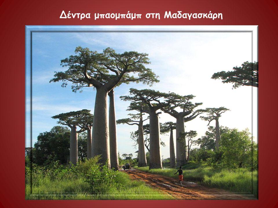 Δέντρα μπαομπάμπ στη Μαδαγασκάρη