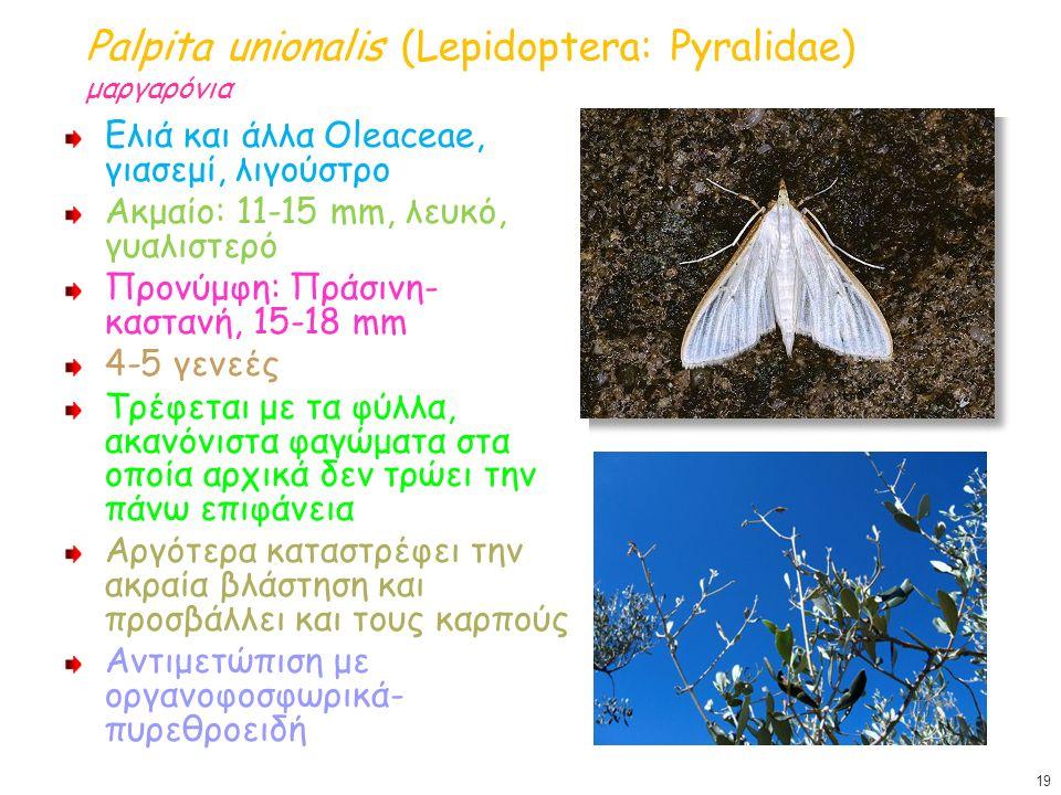 Palpita unionalis (Lepidoptera: Pyralidae) μαργαρόνια Ελιά και άλλα Oleaceae, γιασεμί, λιγούστρο Ακμαίο: 11-15 mm, λευκό, γυαλιστερό Προνύμφη: Πράσινη
