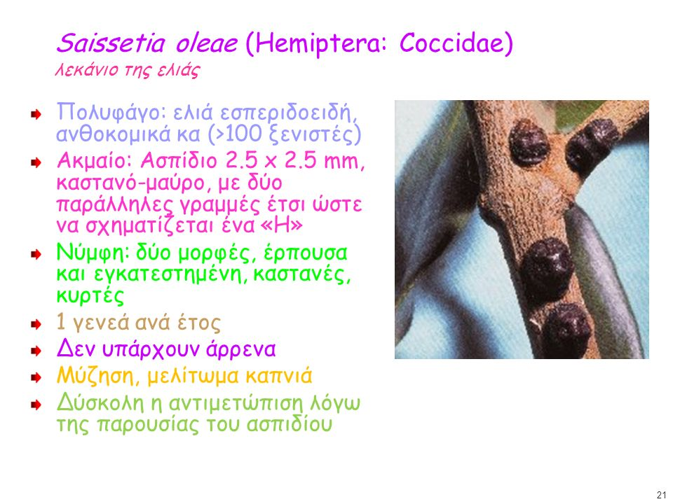 Saissetia oleae (Hemiptera: Coccidae) λεκάνιο της ελιάς Πολυφάγο: ελιά εσπεριδοειδή, ανθοκομικά κα (>100 ξενιστές) Ακμαίο: Ασπίδιο 2.5 x 2.5 mm, καστα