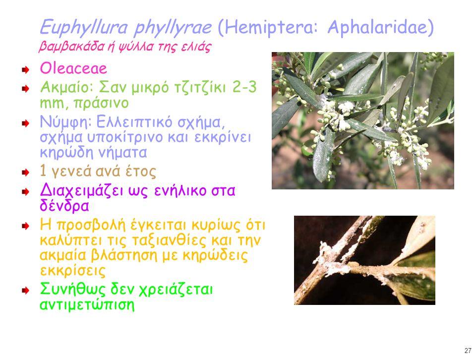 Euphyllura phyllyrae (Hemiptera: Aphalaridae) βαμβακάδα ή ψύλλα της ελιάς Oleaceae Ακμαίο: Σαν μικρό τζιτζίκι 2-3 mm, πράσινο Νύμφη: Ελλειπτικό σχήμα,
