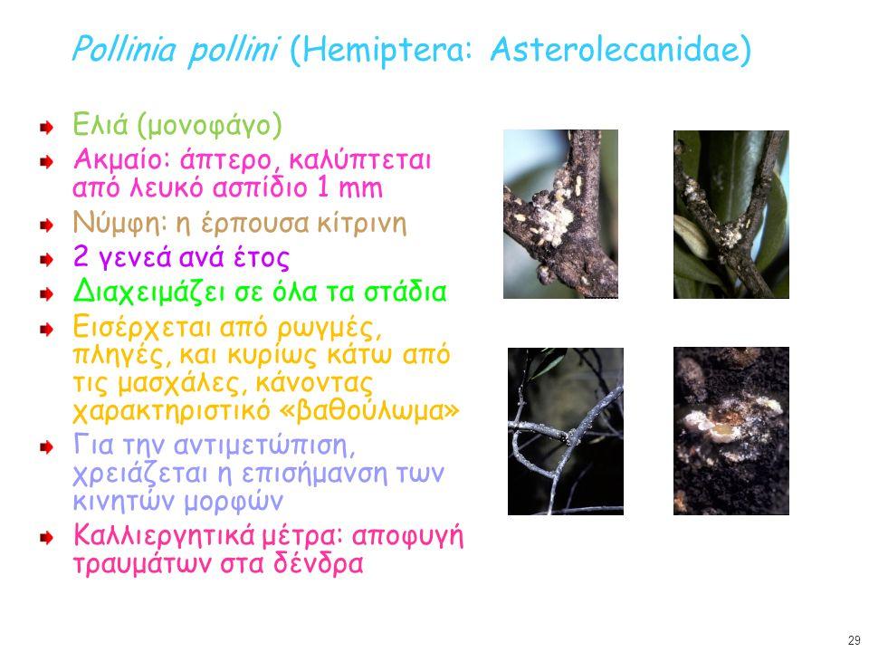Pollinia pollini (Hemiptera: Asterolecanidae) Ελιά (μονοφάγο) Ακμαίο: άπτερο, καλύπτεται από λευκό ασπίδιο 1 mm Νύμφη: η έρπουσα κίτρινη 2 γενεά ανά έ
