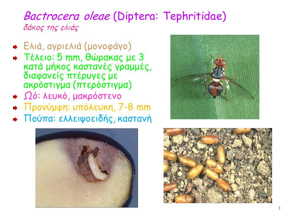 Bactrocera oleae (Diptera: Tephritidae) δάκος της ελιάς Ελιά, αγριελιά (μονοφάγο) Τέλειο: 5 mm, θώρακας με 3 κατά μήκος καστανές γραμμές, διαφανείς πτ