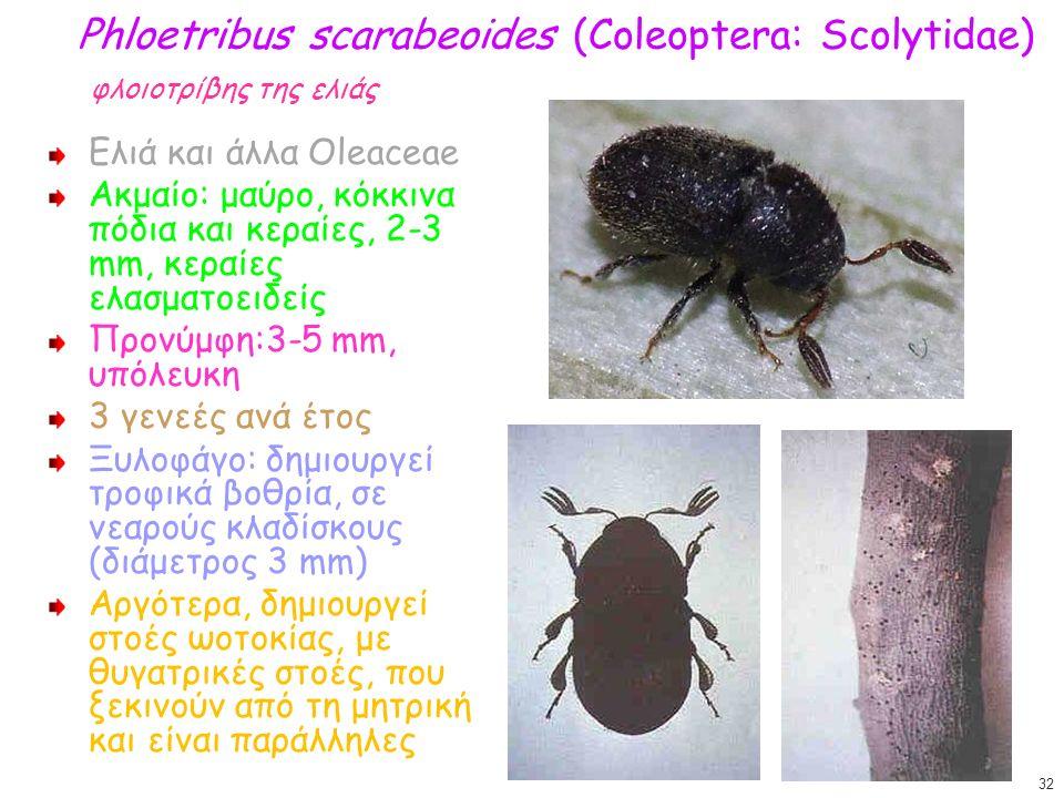 Phloetribus scarabeoides (Coleoptera: Scolytidae) φλοιοτρίβης της ελιάς Ελιά και άλλα Oleaceae Ακμαίο: μαύρο, κόκκινα πόδια και κεραίες, 2-3 mm, κεραί