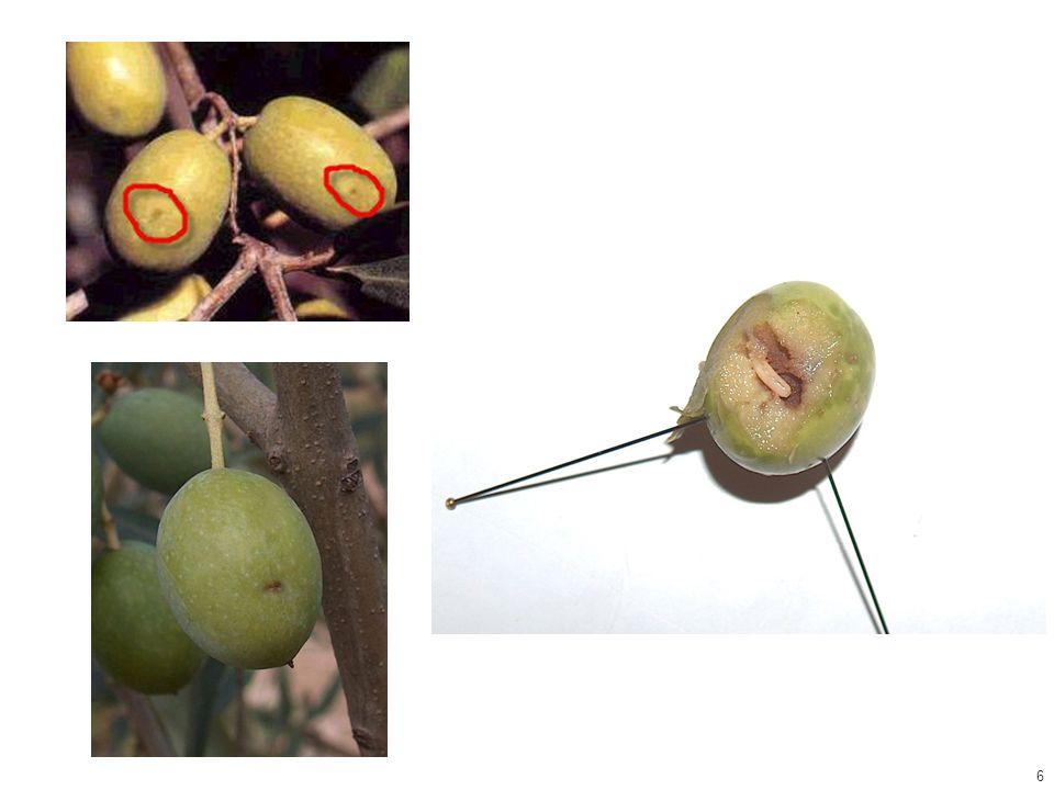 Euphyllura phyllyrae (Hemiptera: Aphalaridae) βαμβακάδα ή ψύλλα της ελιάς Oleaceae Ακμαίο: Σαν μικρό τζιτζίκι 2-3 mm, πράσινο Νύμφη: Ελλειπτικό σχήμα, σχήμα υποκίτρινο και εκκρίνει κηρώδη νήματα 1 γενεά ανά έτος Διαχειμάζει ως ενήλικο στα δένδρα Η προσβολή έγκειται κυρίως ότι καλύπτει τις ταξιανθίες και την ακμαία βλάστηση με κηρώδεις εκκρίσεις Συνήθως δεν χρειάζεται αντιμετώπιση 27