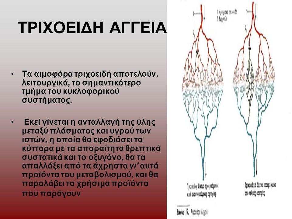 ΤΡΙΧΟΕΙΔΗ ΑΓΓΕΙΑ Τα αιμοφόρα τριχοειδή αποτελούν, λειτουργικά, το σημαντικότερο τμήμα του κυκλοφορικού συστήματος.
