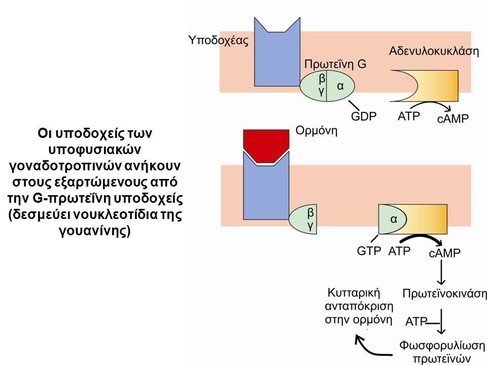 Οι υποδοχείς των υποφυσιακών γοναδοτροπινών ανήκουν στους εξαρτώμενους από την G-πρωτεΐνη υποδοχείς (δεσμεύει νουκλεοτίδια της γουανίνης)