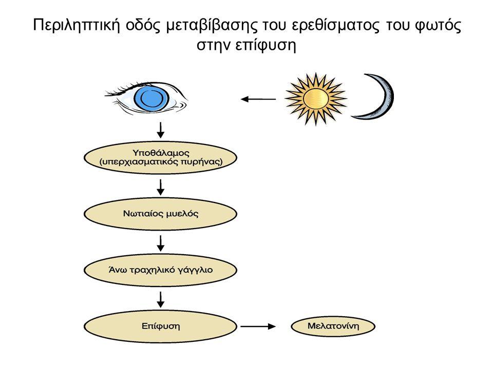 Περιληπτική οδός μεταβίβασης του ερεθίσματος του φωτός στην επίφυση