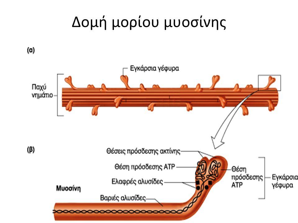 Δομή μορίου μυοσίνης