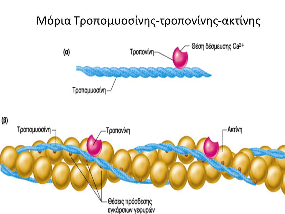 Μόρια Τροπομυοσίνης-τροπονίνης-ακτίνης
