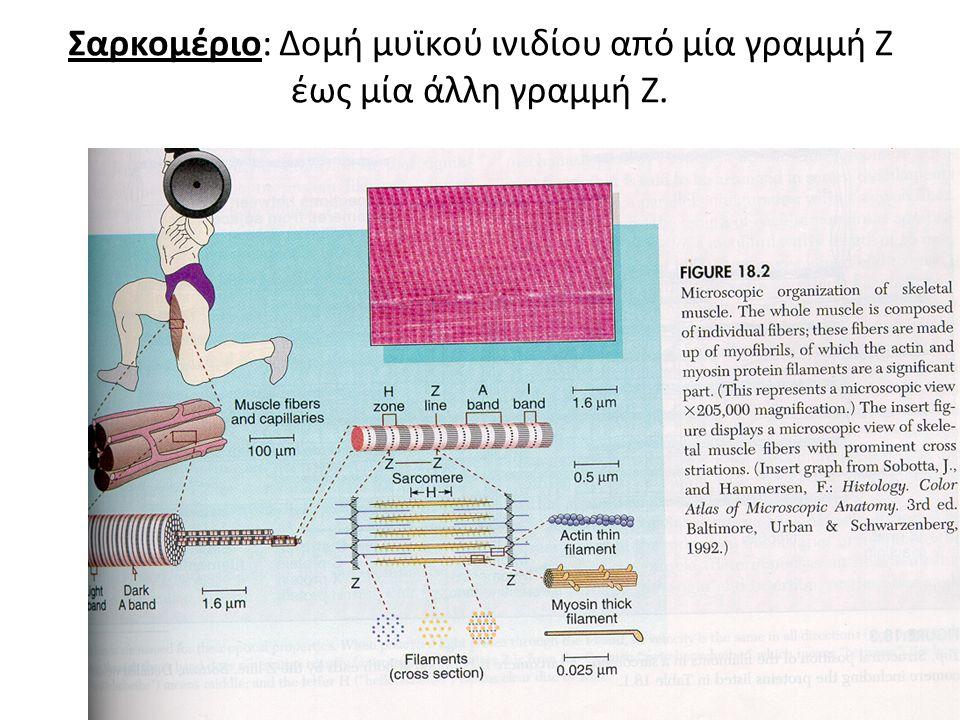 Σαρκομέριο: Δομή μυϊκού ινιδίου από μία γραμμή Ζ έως μία άλλη γραμμή Ζ.