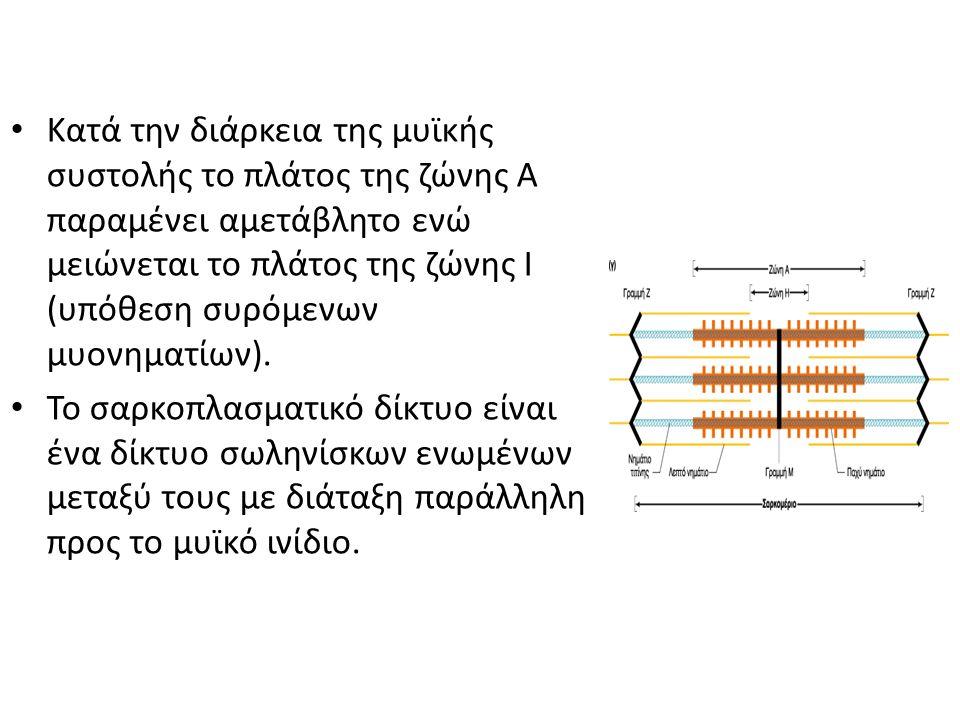 Κατά την διάρκεια της μυϊκής συστολής το πλάτος της ζώνης Α παραμένει αμετάβλητο ενώ μειώνεται το πλάτος της ζώνης Ι (υπόθεση συρόμενων μυονηματίων).