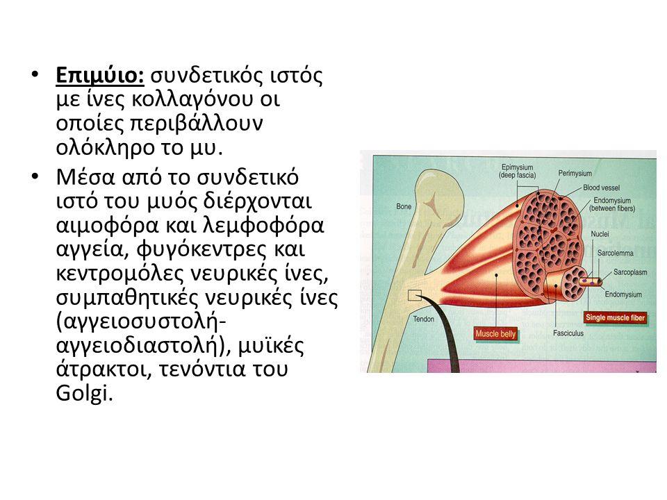 Επιμύιο: συνδετικός ιστός με ίνες κολλαγόνου οι οποίες περιβάλλουν ολόκληρο το μυ.