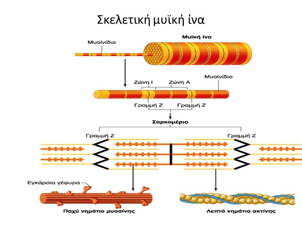 Σκελετική μυϊκή ίνα
