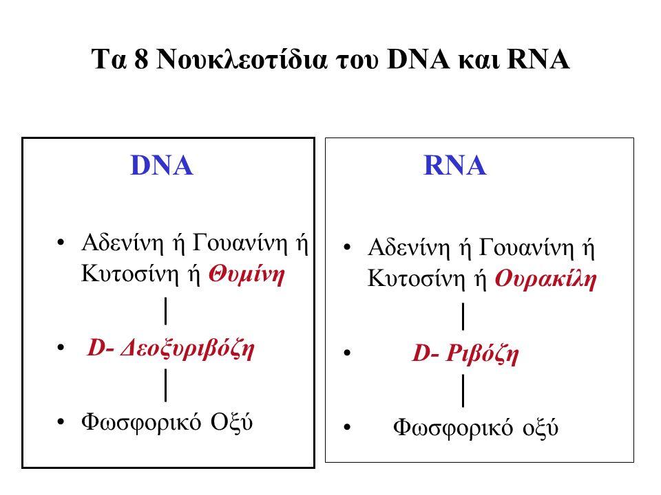 Τα 8 Νουκλεοτίδια του DNA και RNA DNA Aδενίνη ή Γουανίνη ή Κυτοσίνη ή Θυμίνη D- Δεοξυριβόζη Φωσφορικό Οξύ RNA Aδενίνη ή Γουανίνη ή Κυτοσίνη ή Oυρακίλη D- Pιβόζη Φωσφορικό οξύ