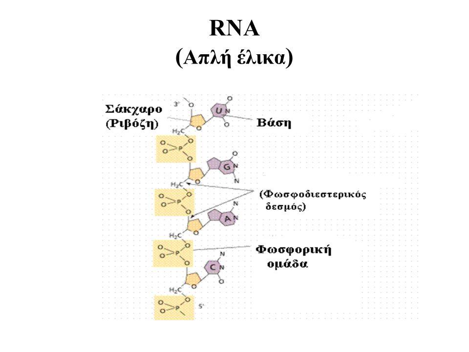 RNA ( Απλή έλικα )