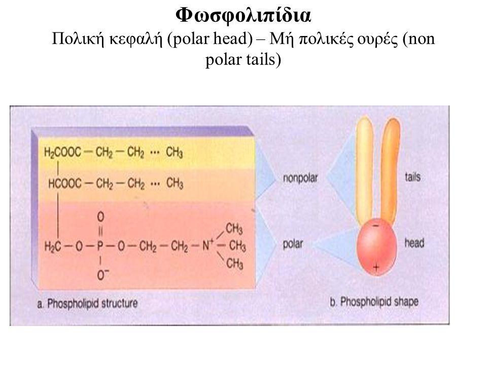Φωσφολιπίδια Πολική κεφαλή (polar head) – Mή πολικές ουρές (non polar tails)
