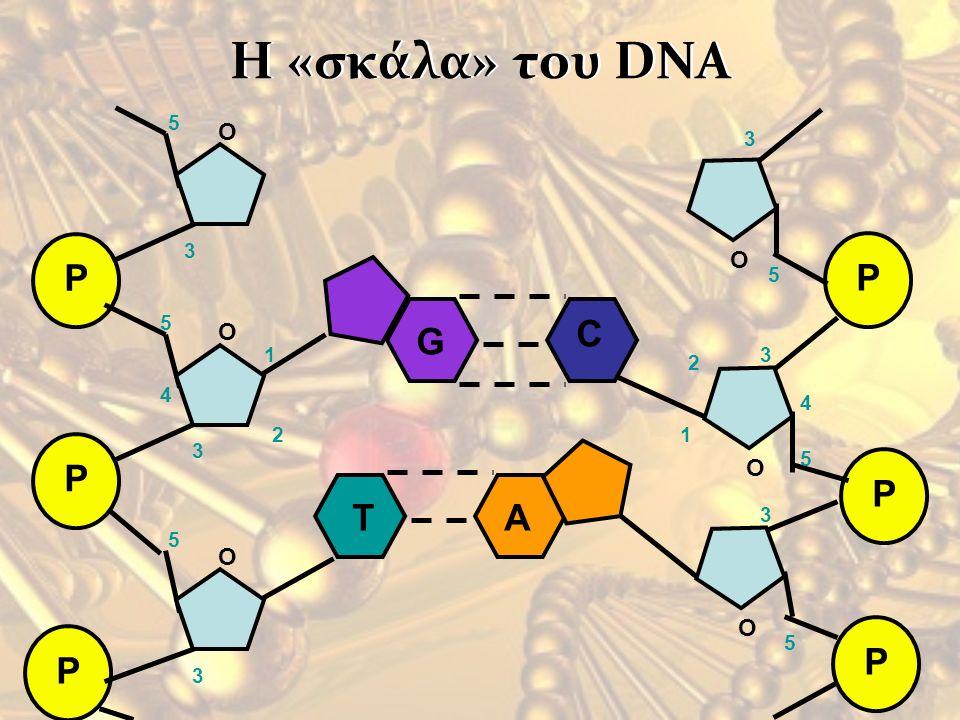 Η «σκάλα» του DNAΗ «σκάλα» του DNA P P P O O O 1 2 3 4 5 5 3 3 5 P P P O O O 1 2 3 4 5 5 3 5 3 G C TA